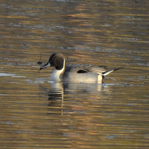 Stjärtand / Anas acuta / Northern Pintail